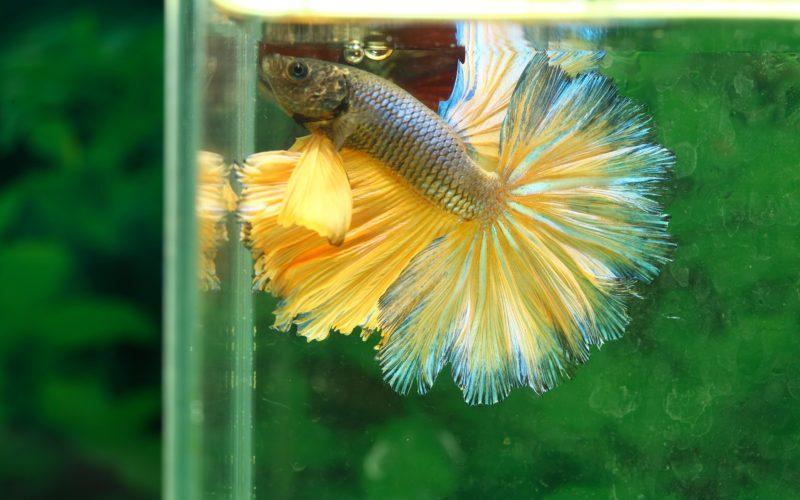 best betta food for a healthy balanced diet aquarium genie